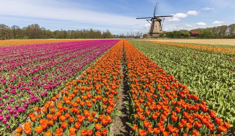 Urlaub in Holland am Meer Tulpenblüte Südholland