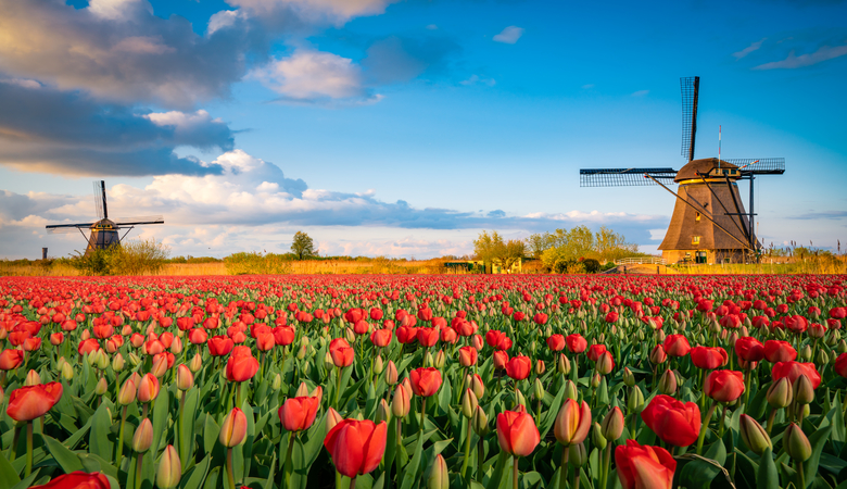 Tulpenblüte in Texel