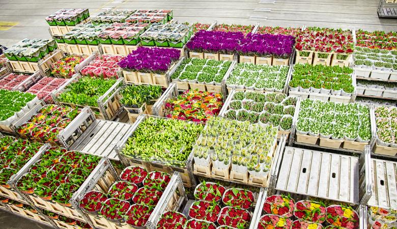 Blumenversteigerung während der Tulpenzeit in Holland